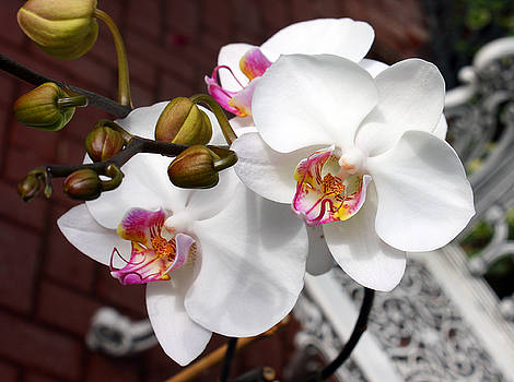 Orchids by Ellen Tully