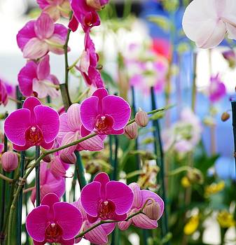 Orchids in Morning Light by Peter  McIntosh