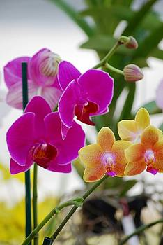 Orchids by Peter  McIntosh