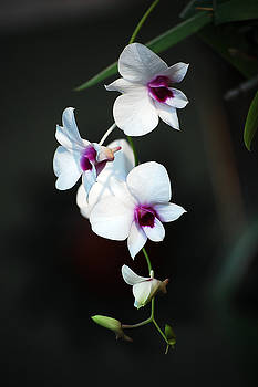 Orchids by Robert Meanor