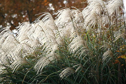 Diane Merkle - Ornamental Grass