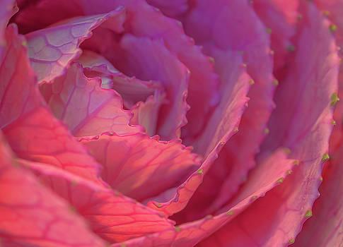 Ornamental Pink by Roy McPeak