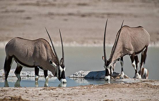 Thirsty Oryx by Sandy Schepis