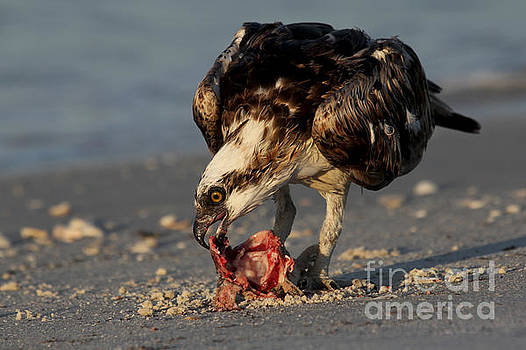 Osprey - Breakfast on the Beach by Meg Rousher