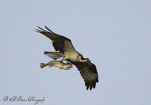 Barbara Bowen - Osprey catches a fish