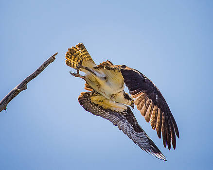 Osprey Dive by Janis Knight