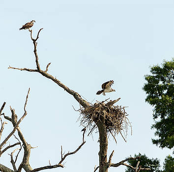 Osprey Family by Brian Wallace