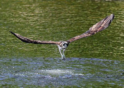 Osprey by Henry Gray
