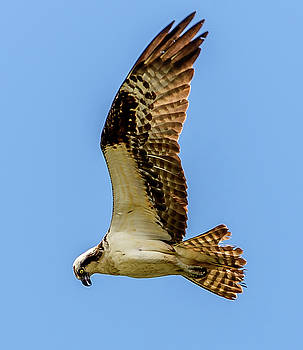 Osprey Hunting by Jerry Cahill