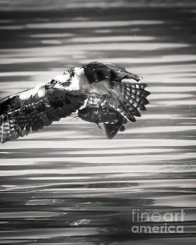 Osprey in Flight by Michael McStamp