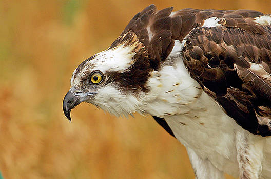 James Steele - Osprey