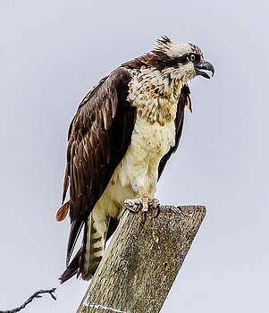 Osprey by Jerry Cahill