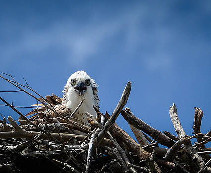 Osprey  by Kerry Hauser