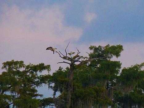 Osprey Landing by Kimo Fernandez