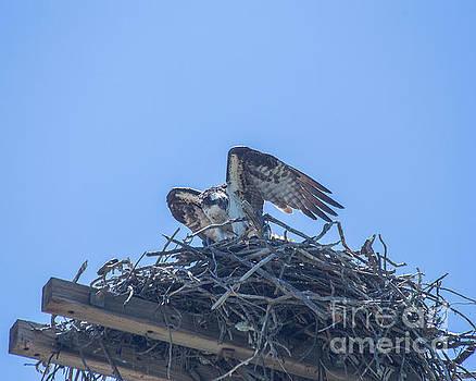 Osprey Nest II by Billie-Jo Miller