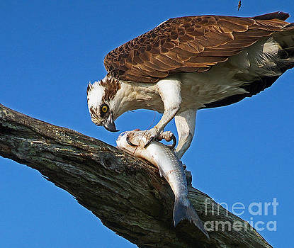 Osprey The meal by Larry Nieland
