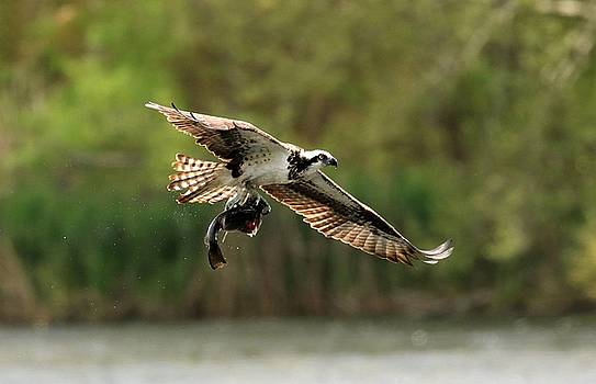 Osprey with Fish by DVP Artography