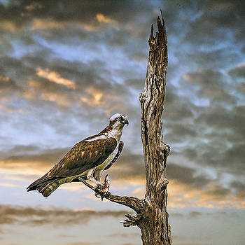 Osprey with supper by Brian Tarr