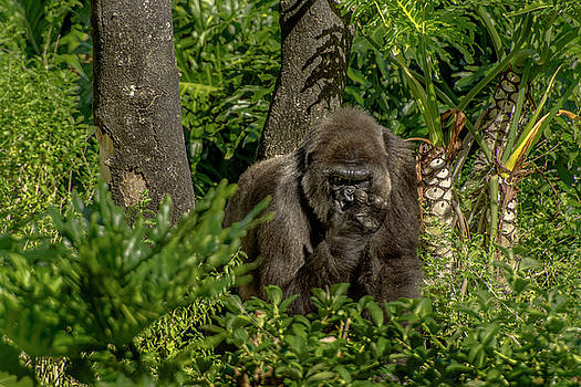 Out of the woods A Blackback Gorilla by Tito Santiago