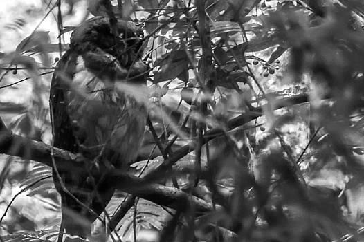 Owl-1-bw by Fabio Giannini