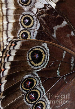 Owl Butterfly Wing Detail Background by Brandon Alms