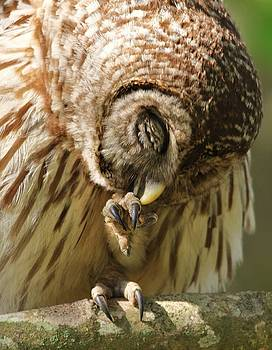 Paulette Thomas - Owl Preening