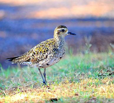 Mary Deal - Pacific Golden Plover - 2