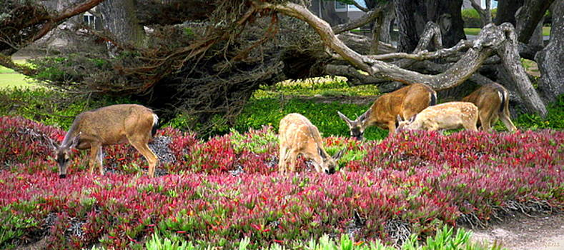 Joyce Dickens - Pacific Grove Deer Family Three Close Up