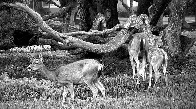 Joyce Dickens - Pacific Grove Deer Family Two Close Up B and W