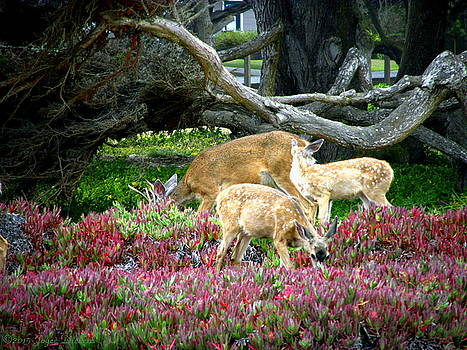 Joyce Dickens - Pacific Grove Deer Feeding II