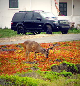 Joyce Dickens - Pacific Grove Deer In The Front Yard II