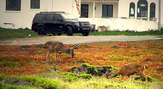 Joyce Dickens - Pacific Grove Deer In The Front Yard