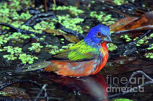 Painted Bunting After Bath by Larry Nieland