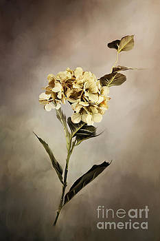 Painted Hydrangeas by Stephanie Frey
