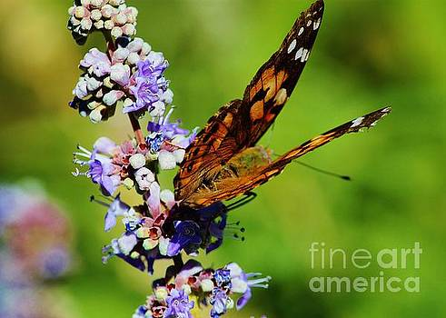 Painted Lady II by Marcia Breznay