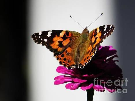 Painted Lady on Flower by Putterhug  Studio