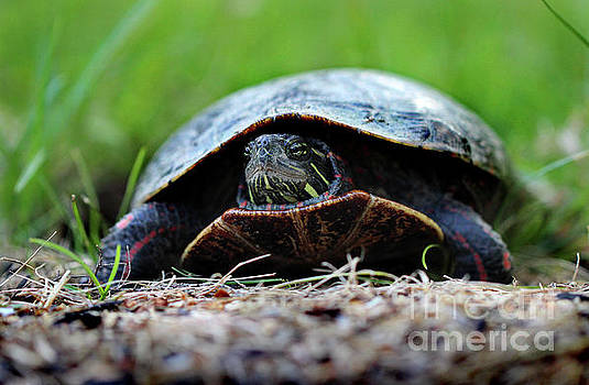 Painted Turtle by Karen Adams