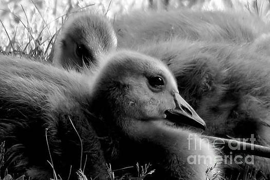 Pair of Goslings by Selma Glunn