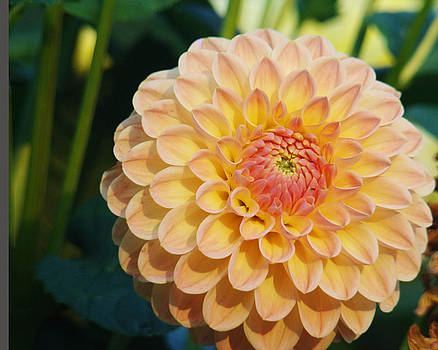 Pale Pink Dahlia by Rhianna Wurman
