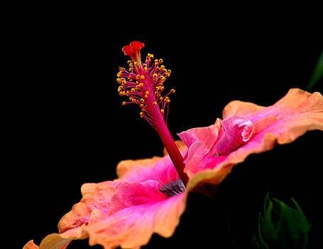 Paleaku Hibiscus by Lori Seaman