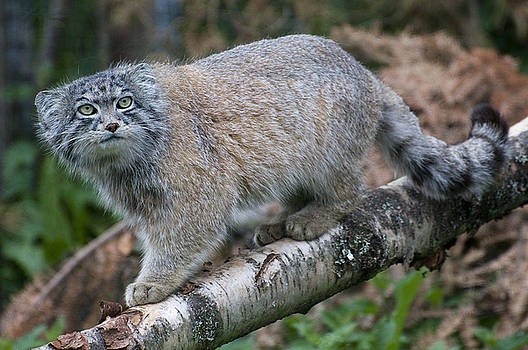Pallas's cat by Sue Arber