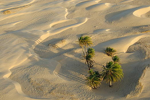 Sami Sarkis - Palm trees and sand dunes in Sahara Desert
