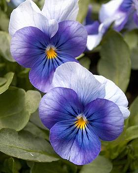 Pansies by Kelly Luquer