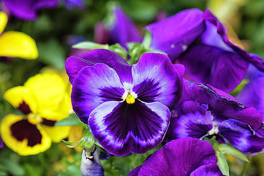 Pansy Face by John Hoey