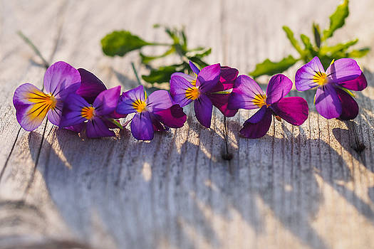 Pansy Faces by Prairie Poetry