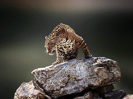 Panthera onca by Ivan Vukelic