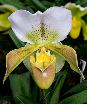 Paphiopedilum, High Life CHAMPAIGN, Orchid Family, 2016 by Wayne Higgs