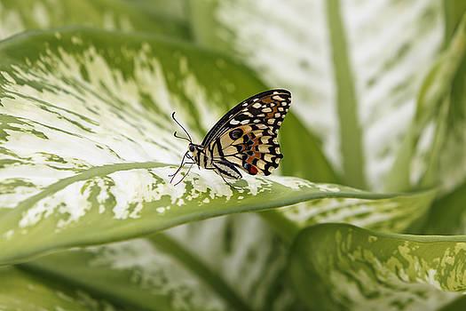 Papilio demoleus by Goyo Ambrosio
