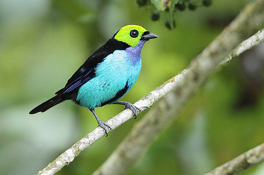 Paradise Tanager in Ecuador by Juan Carlos Vindas