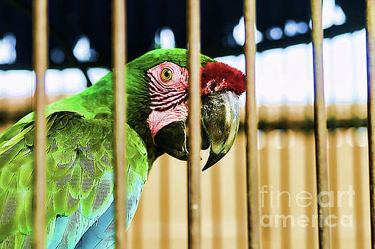 Chuck Kuhn - Parrot Caged